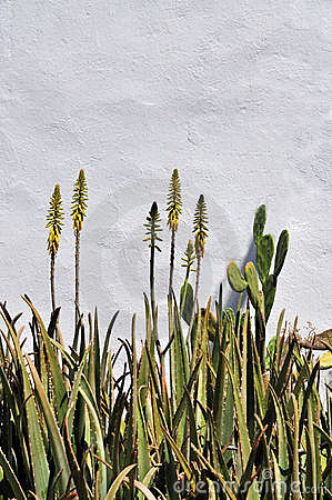Aloe blossoms against plaster wall