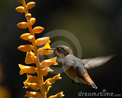 Aloe hummingbird