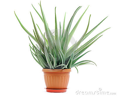 Aloe plant in a pot isolated