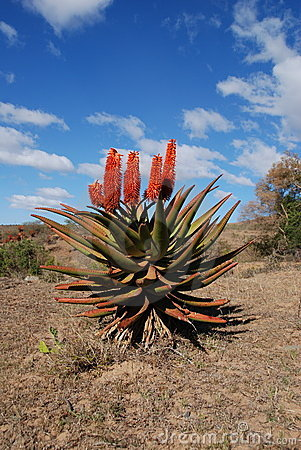 Aloe in south africa