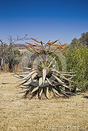 Free Aloe Tree In Flower Stock Photos - 11533843