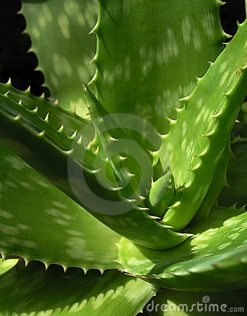Free Aloe Vera Royalty Free Stock Photography - 152077