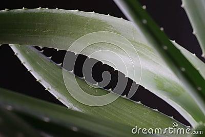 Aloe vera 4
