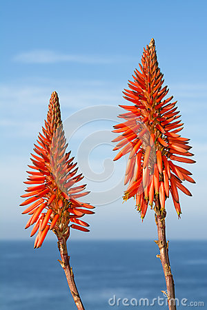 Free Aloe Vera Blooms Royalty Free Stock Images - 48685619