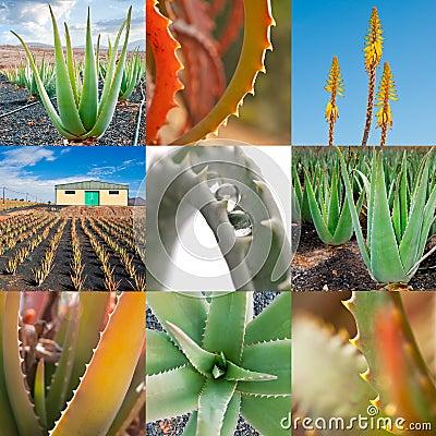 Aloe vera collage