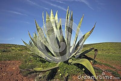 Aloe Vera in the fields of Portugal