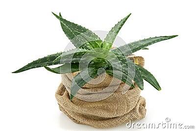 Aloe in flower - pot