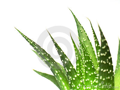 Aloe vera leaves, detailed