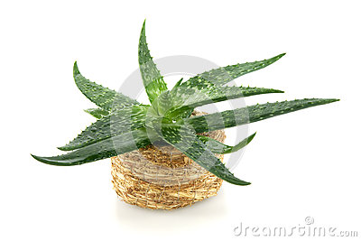 Aloe in handbasket