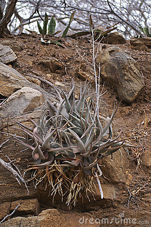 Aloes growing in a rocky bank #2