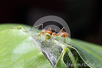 Alone ant