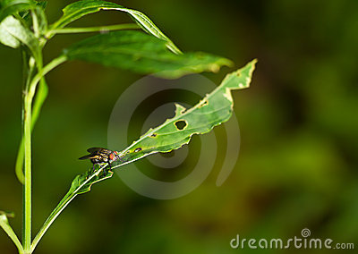 Alone fly on the green leaf