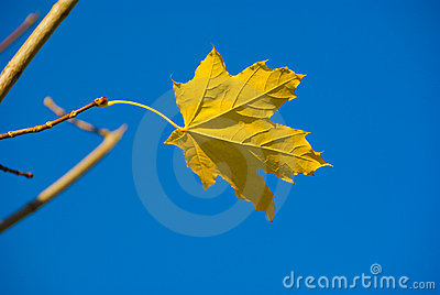 Alone maple leaf
