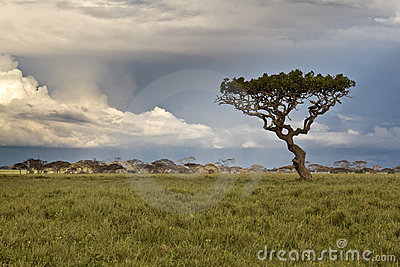 Alone tree in the African savannah