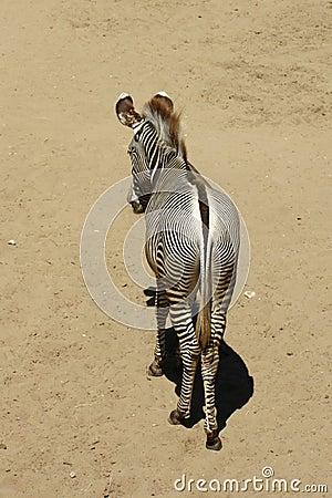 Alone Zebra