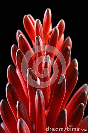 Alovera flower pods
