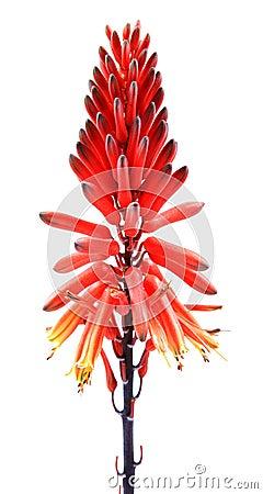Alovera flowers