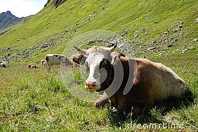 Alp Cows
