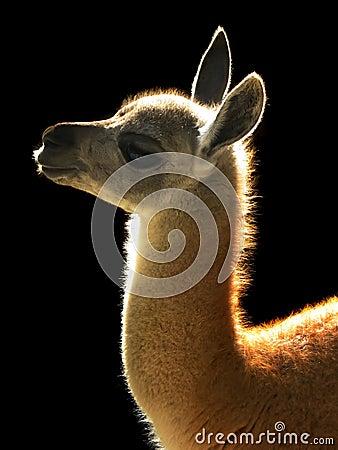 Free Alpaca Royalty Free Stock Image - 4080196