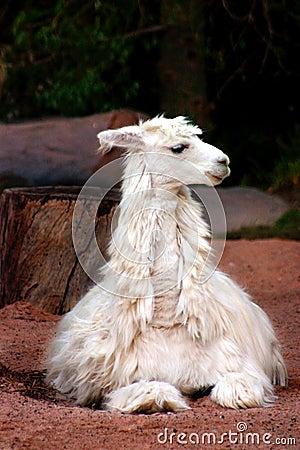 Free Alpaca Royalty Free Stock Photography - 481507