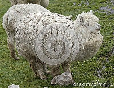 Alpaca 5