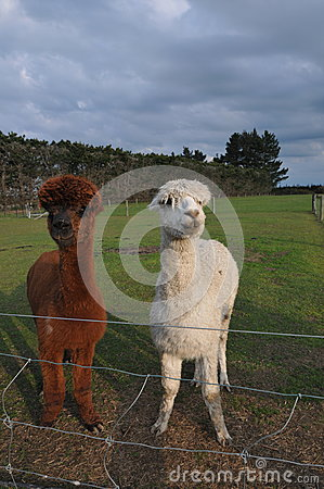 Free Alpaca Stock Photos - 60505663