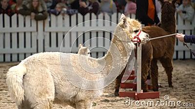 Alpaca-baby on the animals show. HELSINKI, FINLAND - NOVEMBER 11, 2016: Alpaca-baby on the animals show. Girls show alpacas admiring public. Agricultural stock footage