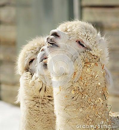 Alpaca couple