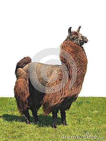 Alpaca on the grass
