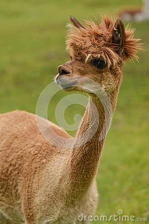 Free Alpaca Portrait Stock Photos - 75770663