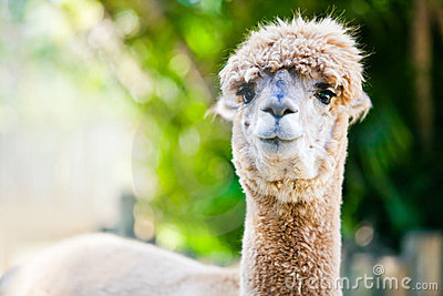 Alpaca portrait on green natural background