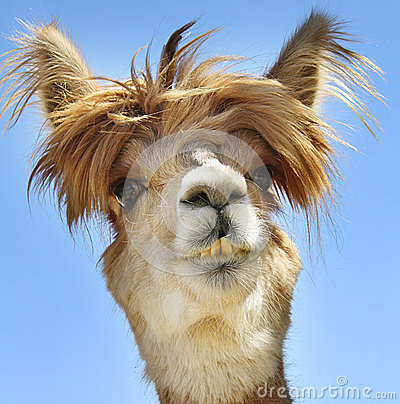 Free Alpaca With Funny Hair. Stock Image - 54343701