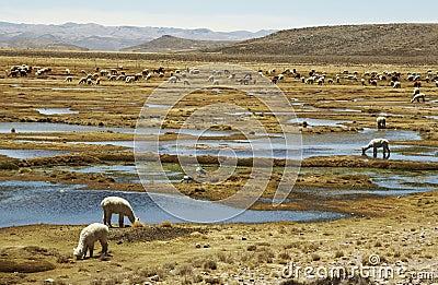Alpacas pastoral in the Peru