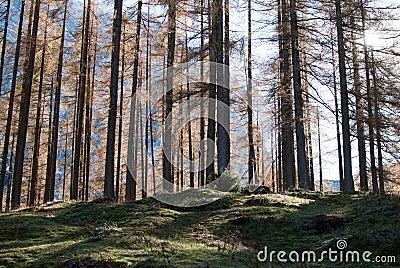 Alpe wood