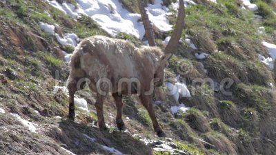 Alpejska koziorożec zbiory wideo