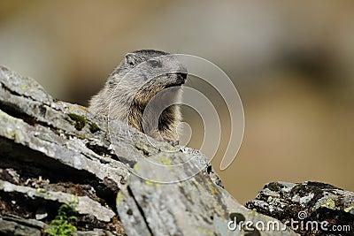 Alpejski świstak (Marmota Marmota)