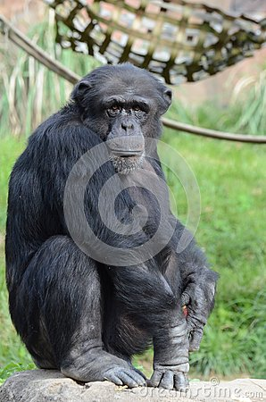 Alpha chimpanzee
