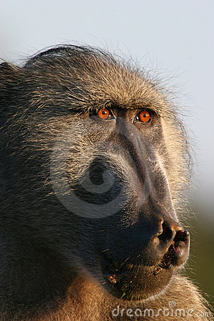Big Male Baboon - Free Stock Photos & Images - 5517247 ...