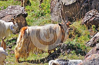 Alpha Male Goat