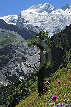 Alphubel in the Swiss Alps and solitary larch