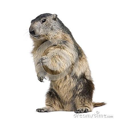 Alpiene Marmot - marmota Marmota (4 jaar oud)