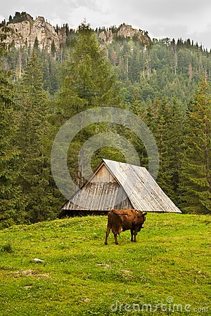 Alpin cow in the mountains