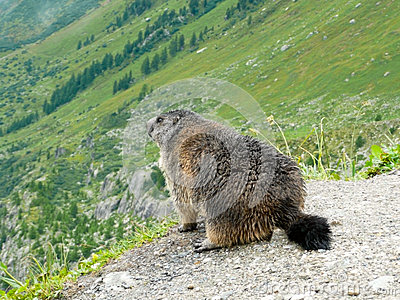 Alpin marmot