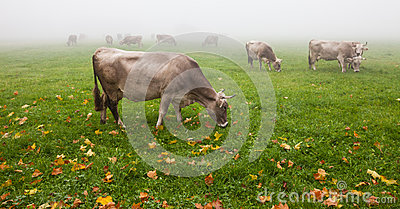 Alpine Cattle V