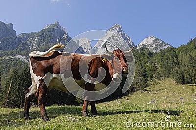 Alpine cow
