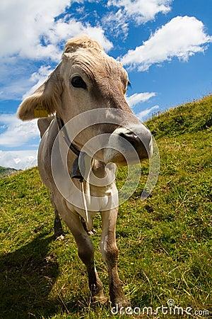 Alpine cow on green meadow