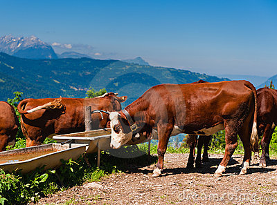 Alpine cows herd drinking water