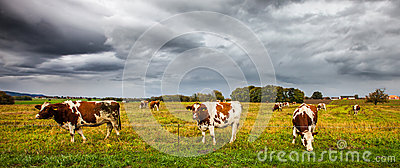 Alpine Cows I