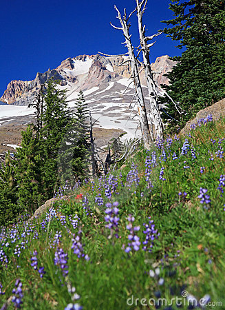 Free Alpine Flowers And Mt Hood Royalty Free Stock Photography - 19633787
