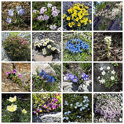 Alpine flowers collage